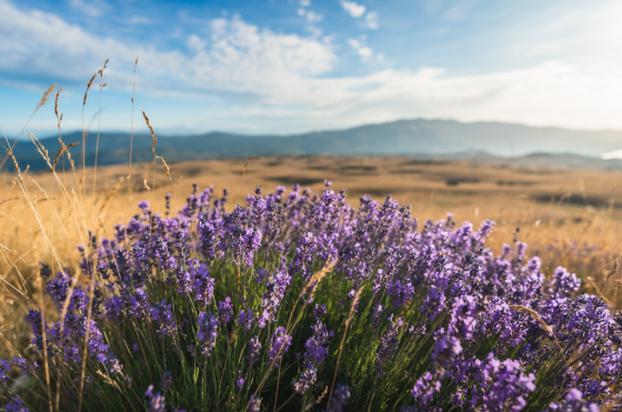ABOUT THE WILD LAVENDER