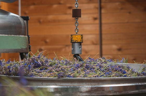 HOW WE PRODUCE OUR ORGANIC WILD LAVENDER VERA ESSENTIAL OIL AND HYDROSOL